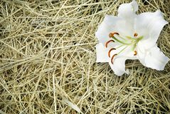 Blade of grass and white lily royalty free stock photos