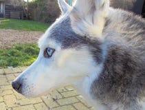 Blade- husky. My old husky dog, blade stock images