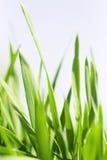 Bladen van een gras Stock Afbeeldingen
