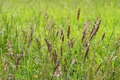Bladen van Gras Royalty-vrije Stock Afbeeldingen