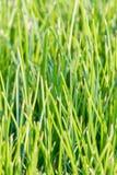 Bladen van rijst, China stock afbeelding