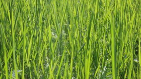 Bladen van ruw gras stock videobeelden