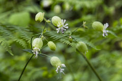 Bladder campion Stock Photos