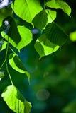 Bladeren in achterlicht Royalty-vrije Stock Fotografie