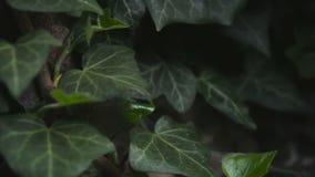 Bladeren bij struikenbewegingen door wind stock videobeelden