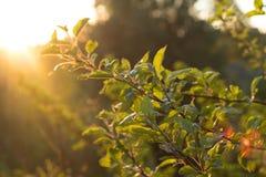 Bladeren in de bomen in de de zomerzon Royalty-vrije Stock Foto's