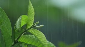 Bladeren in de regen in langzame motie stock footage