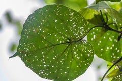 Bladeren in de tropische wildernis in Indonesië Verse installatie van tropische flora royalty-vrije stock afbeeldingen