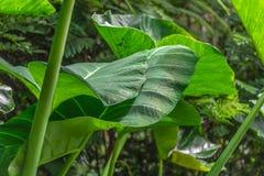 Bladeren in de tropische wildernis in Indonesië Verse installatie van tropische flora stock foto