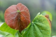 Bladeren in de tropische wildernis in Indonesië Verse installatie van tropische flora stock afbeeldingen