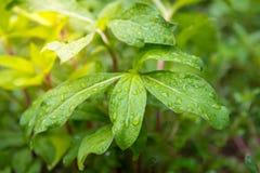Bladeren in de tuin op een regenachtige dag Stock Afbeeldingen