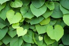 Bladeren in de vorm van een Hart Stock Foto