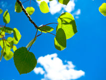 Bladeren in de zomer Stock Foto