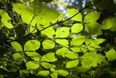 Bladeren in de zon Royalty-vrije Stock Afbeelding