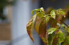 Bladeren die aan daling draaien Stock Afbeeldingen