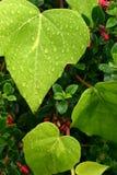 Bladeren die in dauw worden behandeld Stock Foto