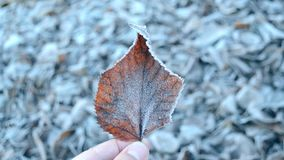 Bladeren die met vorst, dichte omhooggaand worden behandeld stock video