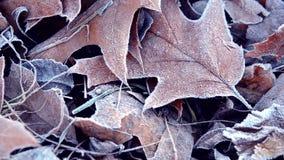Bladeren die met vorst, dichte omhooggaand worden behandeld stock videobeelden