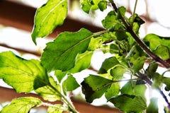 bladeren die onder de zon glanzen royalty-vrije stock foto's