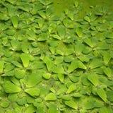 Bladeren die op vijver drijven Royalty-vrije Stock Foto's