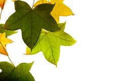 Bladeren die op witte achtergrond worden geïsoleerd, Stock Afbeelding
