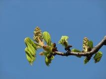 Bladeren die van kastanjeboom, van knop, de lente tot bloei komen Royalty-vrije Stock Fotografie