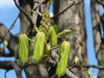 Bladeren die van kastanjeboom, van knop, de lente tot bloei komen Royalty-vrije Stock Foto