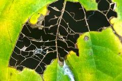 Bladeren door wormdetails dat worden gegeten Stock Afbeelding