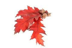 Bladeren en drie eikels. Royalty-vrije Stock Afbeeldingen
