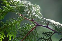 Bladeren en een Tak Stock Foto's