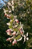 Bladeren en fruit (eikels) van hulsteik Royalty-vrije Stock Fotografie