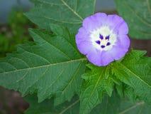 Bladeren en het bloeien physalis, Lilac bloem royalty-vrije stock afbeeldingen