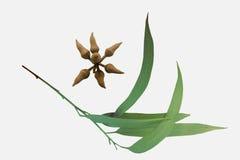 Bladeren en kroon-peer-vormige knoppen van Corymbia-citriodora, Citroen Stock Foto