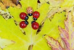 Bladeren en lieveheersbeestjes Stock Fotografie