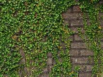 bladeren en middeleeuwse muur Stock Foto's
