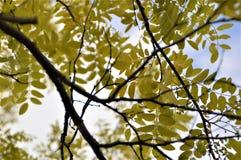 Bladeren en Takken Stock Afbeelding
