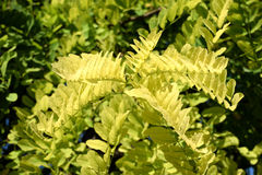 Bladeren en takken van acacia Royalty-vrije Stock Foto