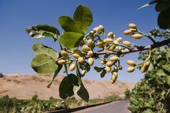 Bladeren en vruchten van pistache royalty-vrije stock afbeelding