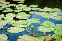 Bladeren en waterlelie op de rivier Stock Afbeeldingen