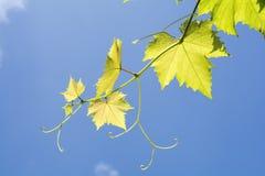 Bladeren en wijnstokken van druif Stock Foto's