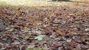 Bladeren in het bos die op de grond liggen stock footage