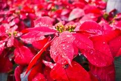 Bladeren - Kerstmisbloem Royalty-vrije Stock Foto's