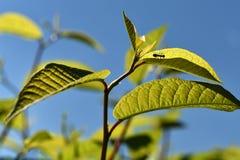 Bladeren met mier stock foto's