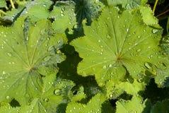 Bladeren met regendruppelsachtergrond Royalty-vrije Stock Afbeeldingen