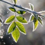 Bladeren met rijp, na een ijzige nacht wordt gefotografeerd die Royalty-vrije Stock Fotografie