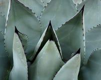 Bladeren met Scherpe Stekels op Agaveinstallatie royalty-vrije stock afbeeldingen