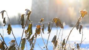 Bladeren met vorst gezien zonsondergang in stad worden behandeld die stock videobeelden