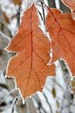 Bladeren met vorst in het de winterhout dat worden behandeld Stock Afbeelding