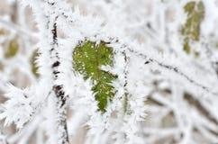 Bladeren met vorst in het de winterhout dat worden behandeld Stock Foto
