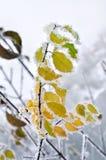 Bladeren met vorst in het de winterhout dat worden behandeld Stock Fotografie